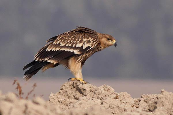 Могильник фото (Aquila heliaca)