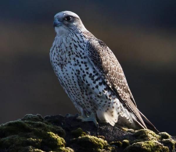 Кречет фото (Falco rusticolus)